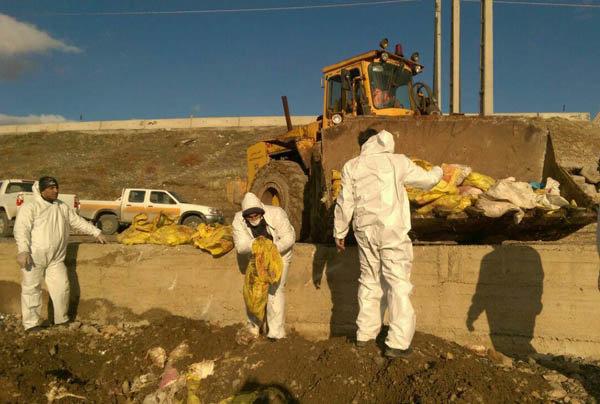 دفن بهداشتی لاشه های طیور رها شده توسط دامپزشکی کرمانشاه