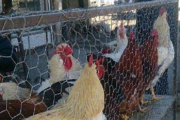 زندهفروشی پرندگان تهدیدی برای شیوع آنفلوانزا در همدان