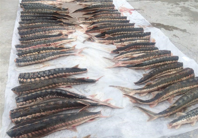 پروژه شیلاتی ۱۰ تنی پرورش ماهی خاویاری مازندران افتتاح شد