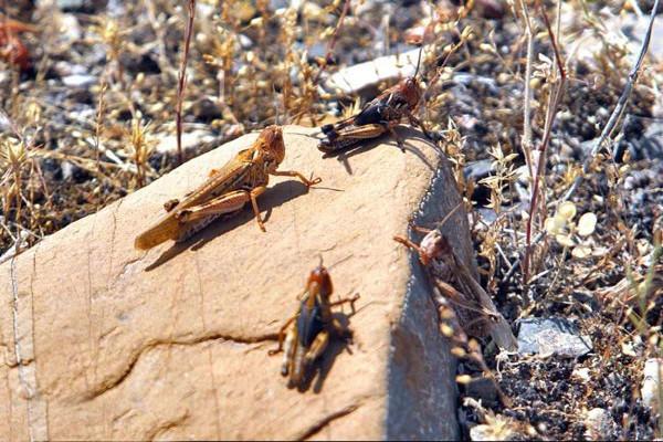 حمله ملخ های صحرایی به کشور